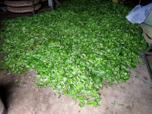tea, Mae Salong, Thailand, production